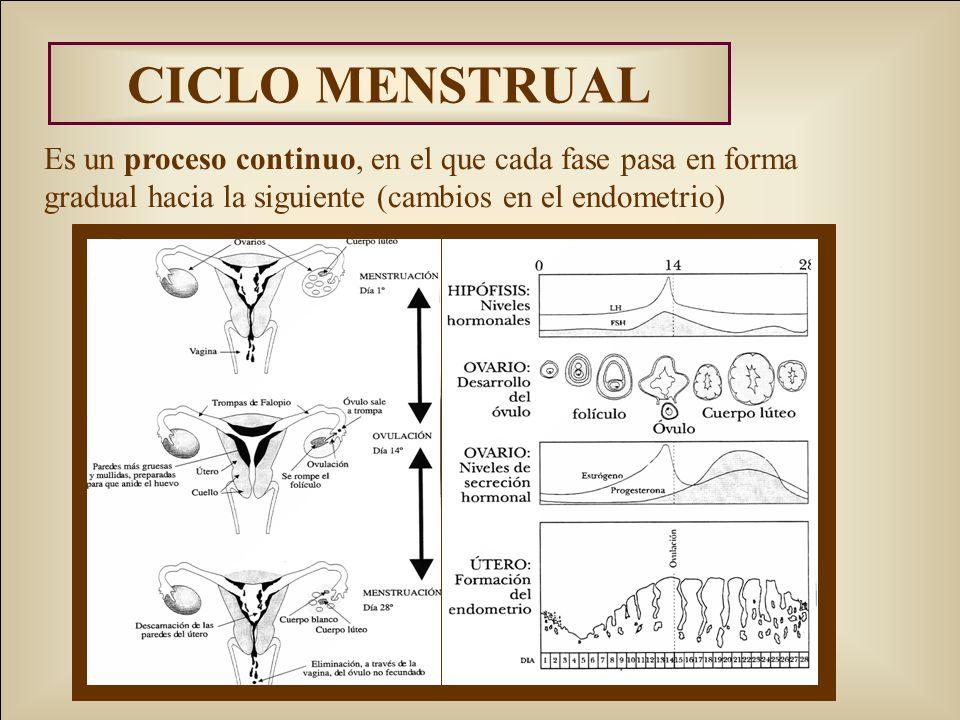 CICLO MENSTRUAL Es un proceso continuo, en el que cada fase pasa en forma gradual hacia la siguiente (cambios en el endometrio)