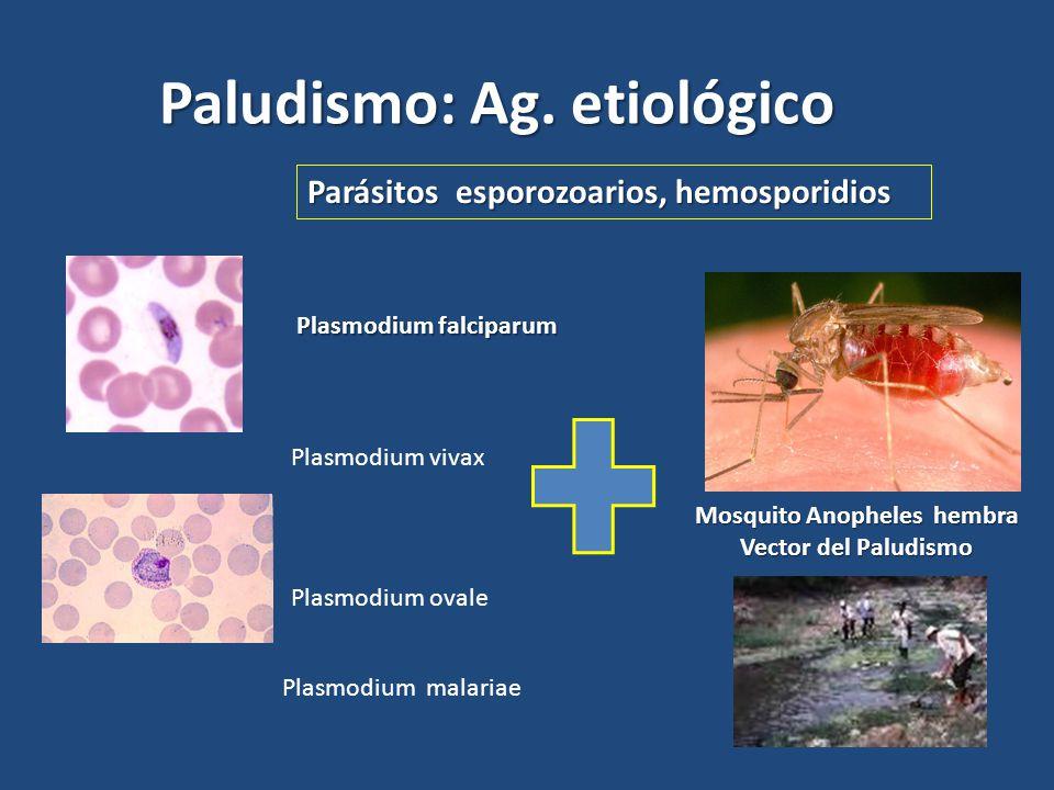 Mosquito Anopheles hembra