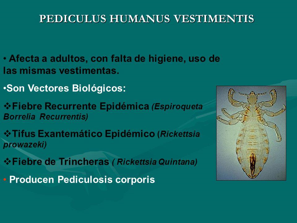 PEDICULUS HUMANUS VESTIMENTIS