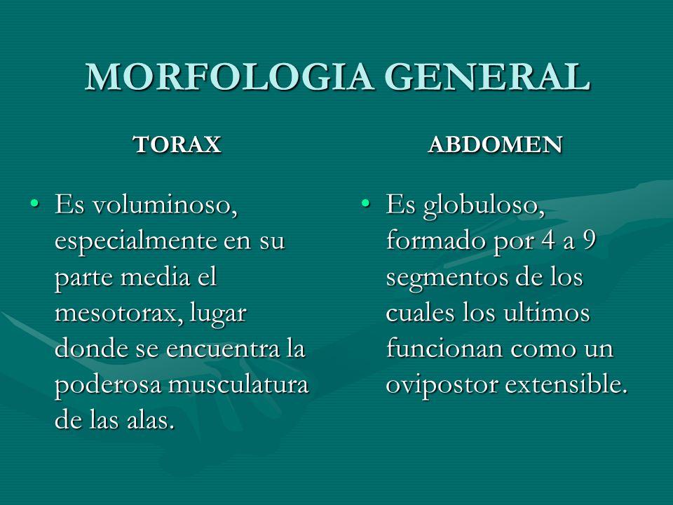 MORFOLOGIA GENERAL TORAX. ABDOMEN.