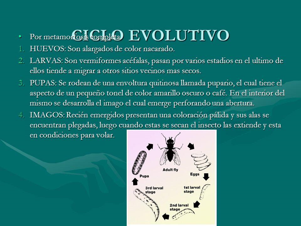 CICLO EVOLUTIVO Por metamorfosis completa.