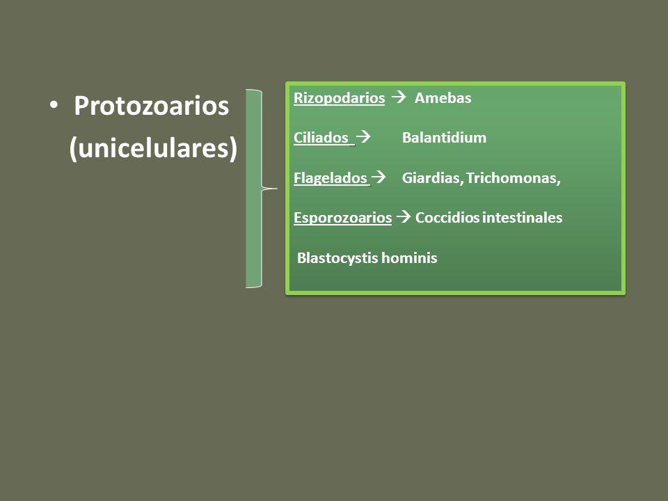 Protozoarios (unicelulares) Rizopodarios  Amebas