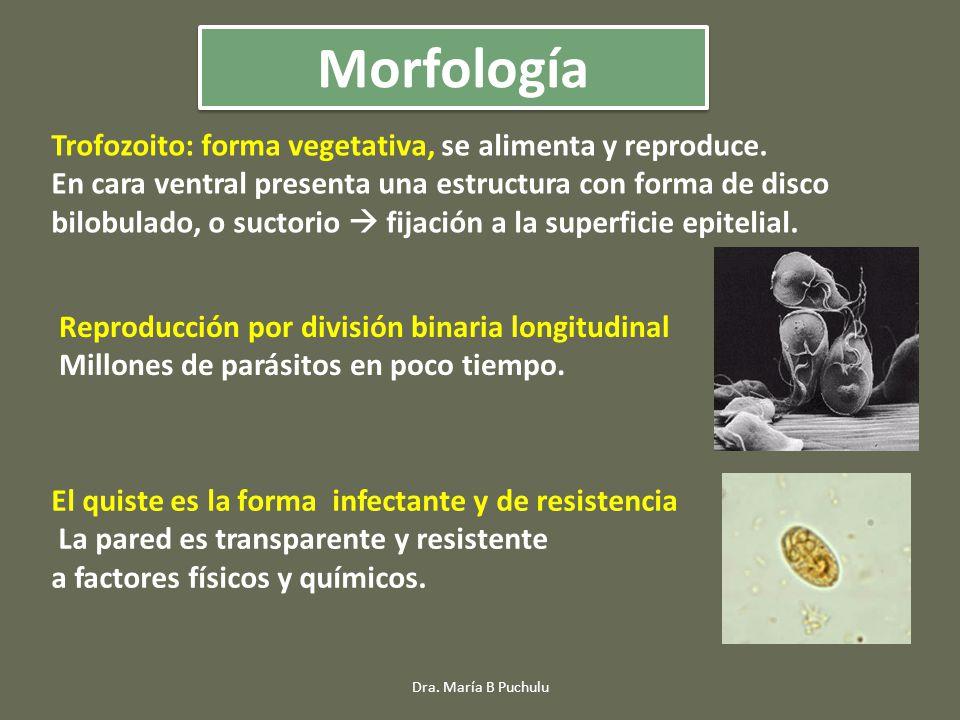 Morfología Trofozoito: forma vegetativa, se alimenta y reproduce.