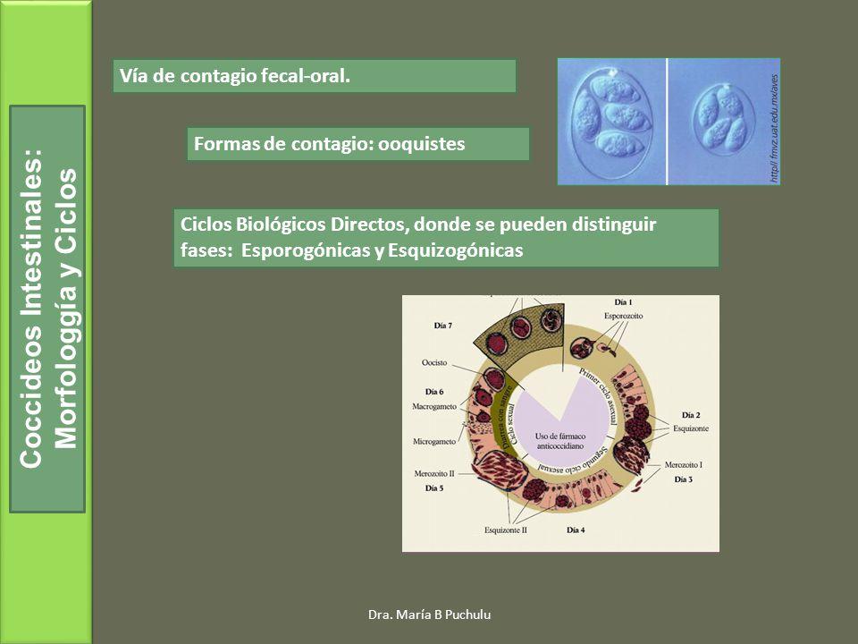 Coccideos Intestinales: Morfologgía y Ciclos