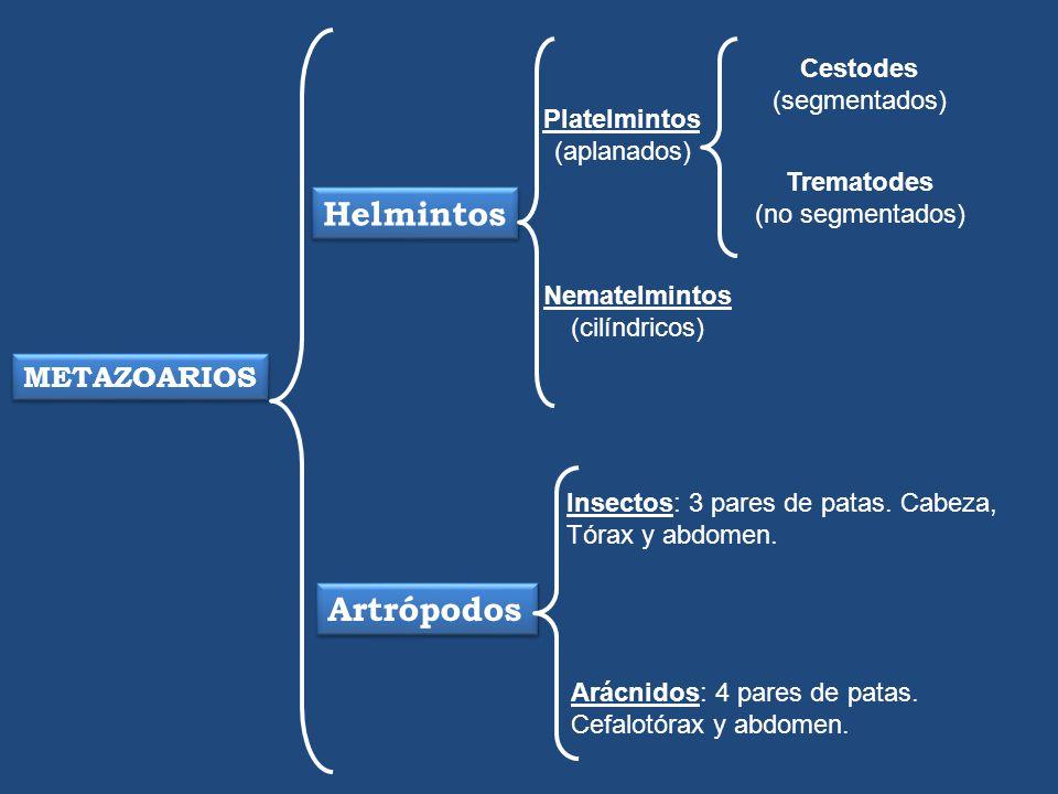 Helmintos Artrópodos METAZOARIOS Cestodes (segmentados) Platelmintos