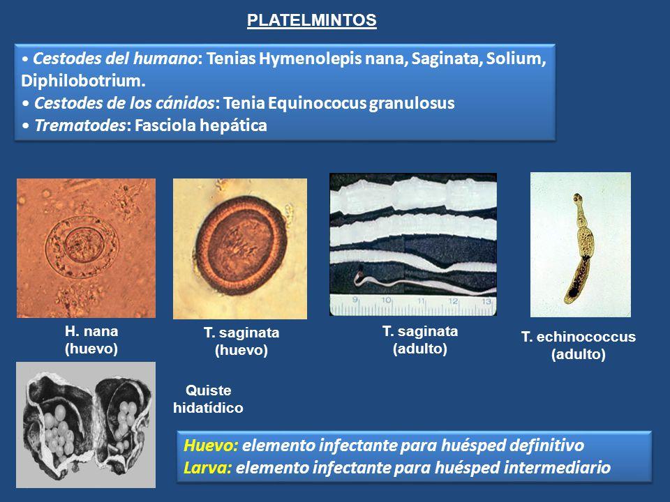 Cestodes de los cánidos: Tenia Equinococus granulosus