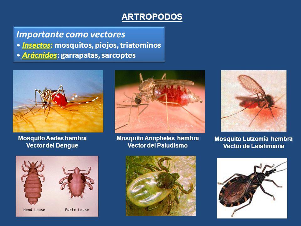Mosquito Anopheles hembra Mosquito Lutzomía hembra