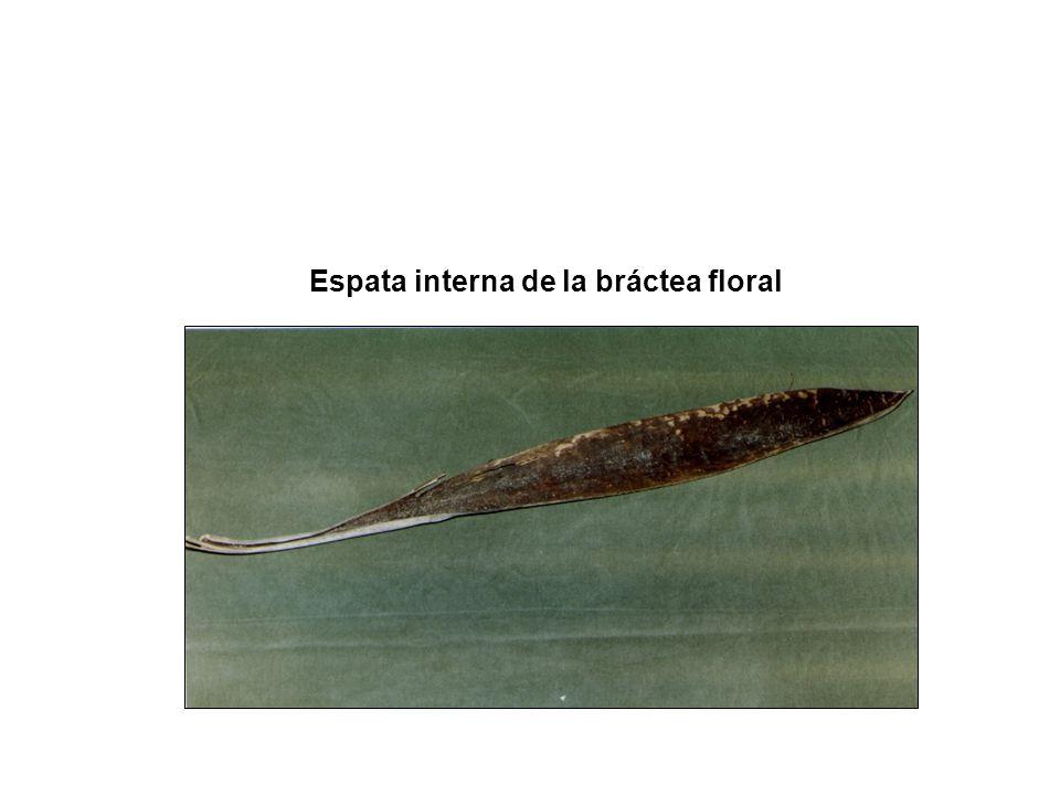 Espata interna de la bráctea floral
