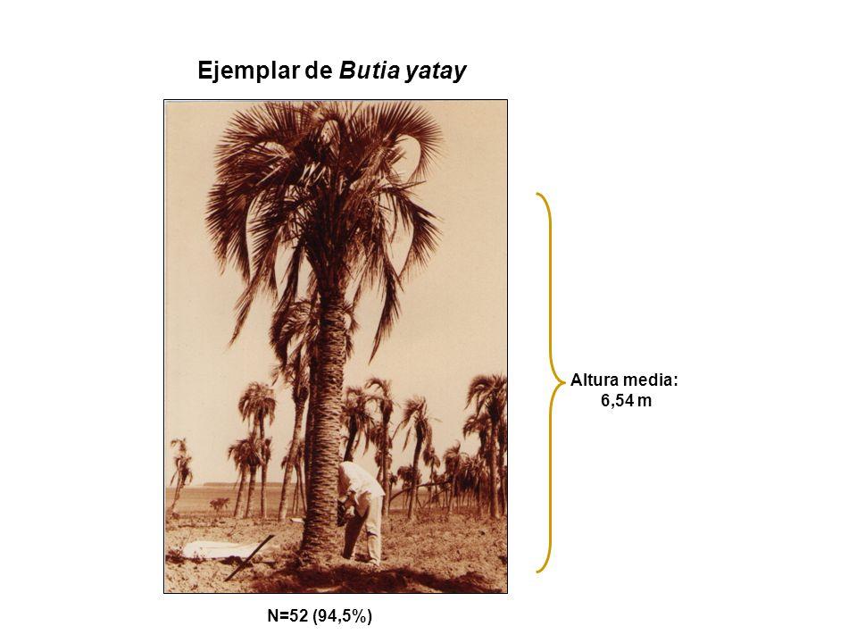 Ejemplar de Butia yatay