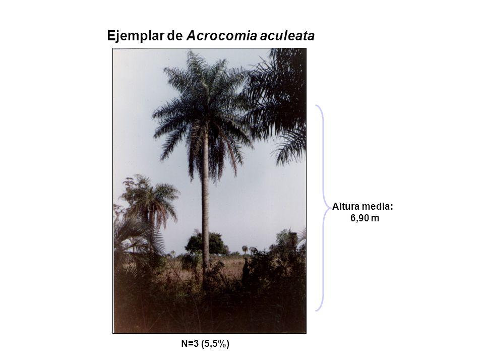 Ejemplar de Acrocomia aculeata