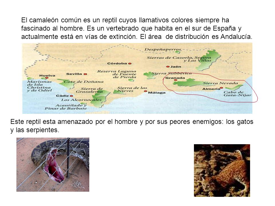 El camaleón común es un reptil cuyos llamativos colores siempre ha fascinado al hombre. Es un vertebrado que habita en el sur de España y actualmente está en vías de extinción. El área de distribución es Andalucía.