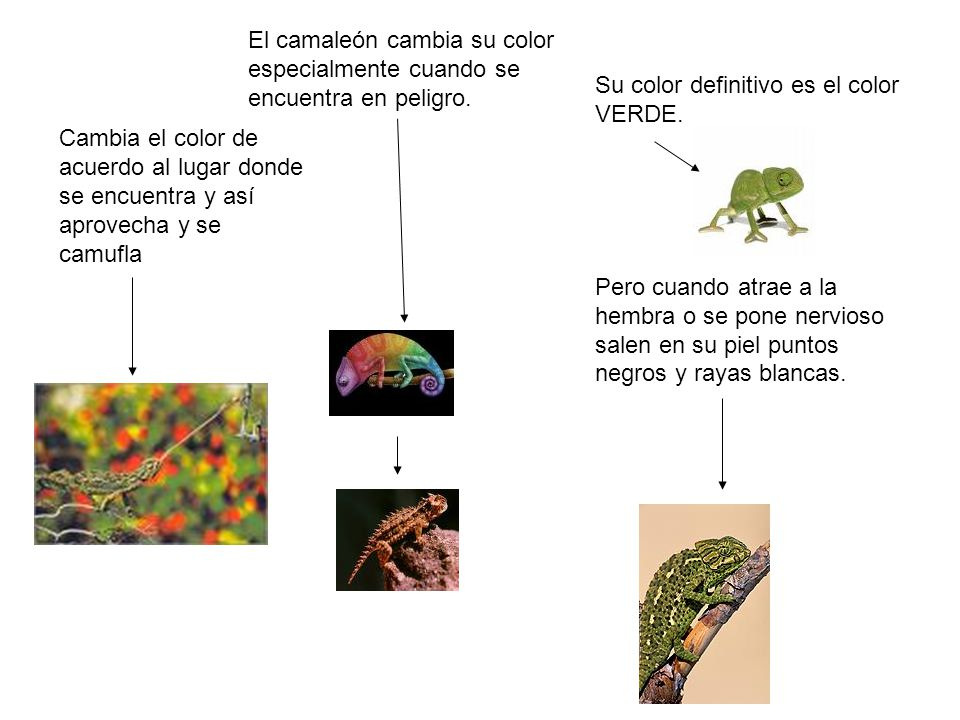 El camaleón cambia su color especialmente cuando se encuentra en peligro.