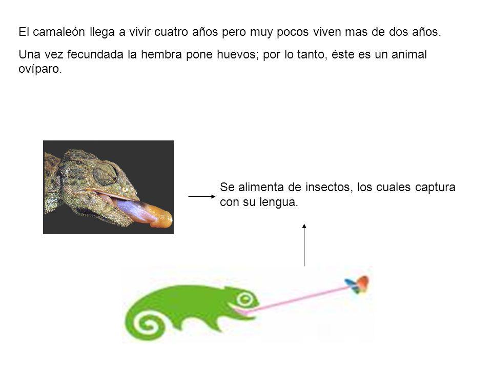El camaleón llega a vivir cuatro años pero muy pocos viven mas de dos años.