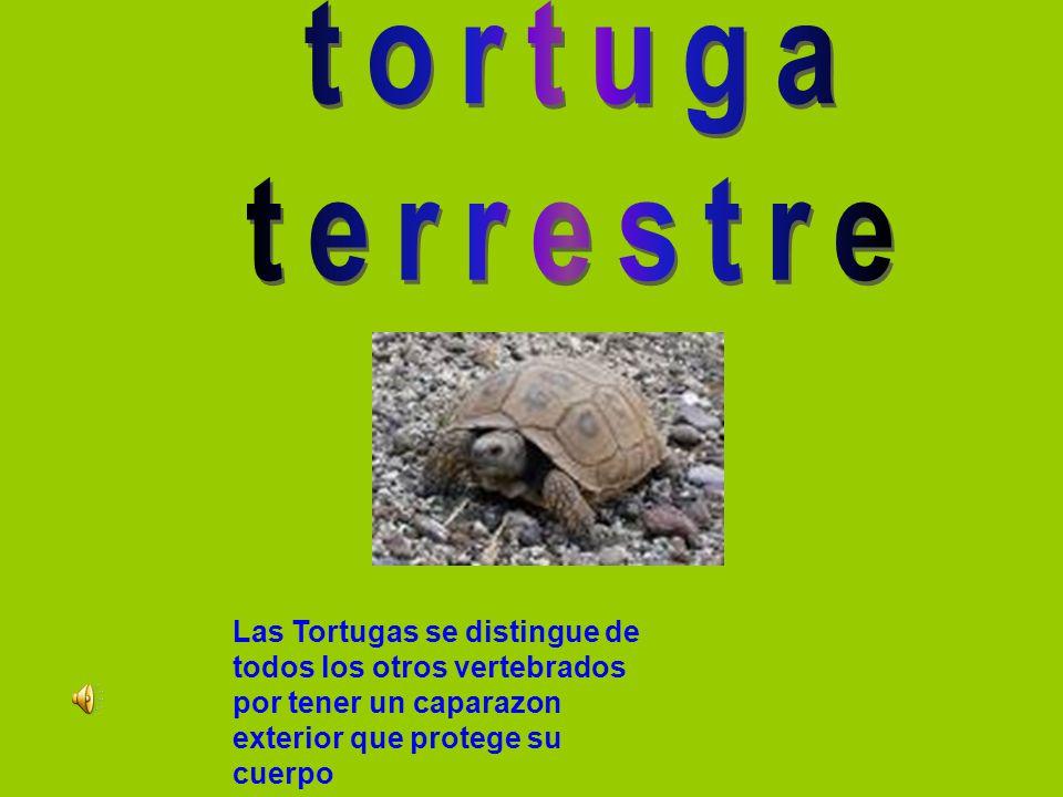 tortuga terrestre.