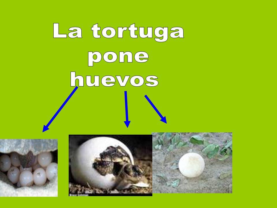 La tortuga pone huevos