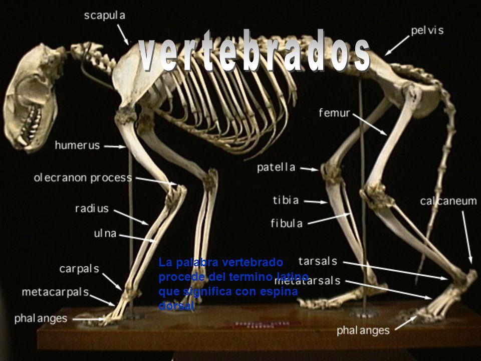 vertebrados La palabra vertebrado procede del termino latino que significa con espina dorsal