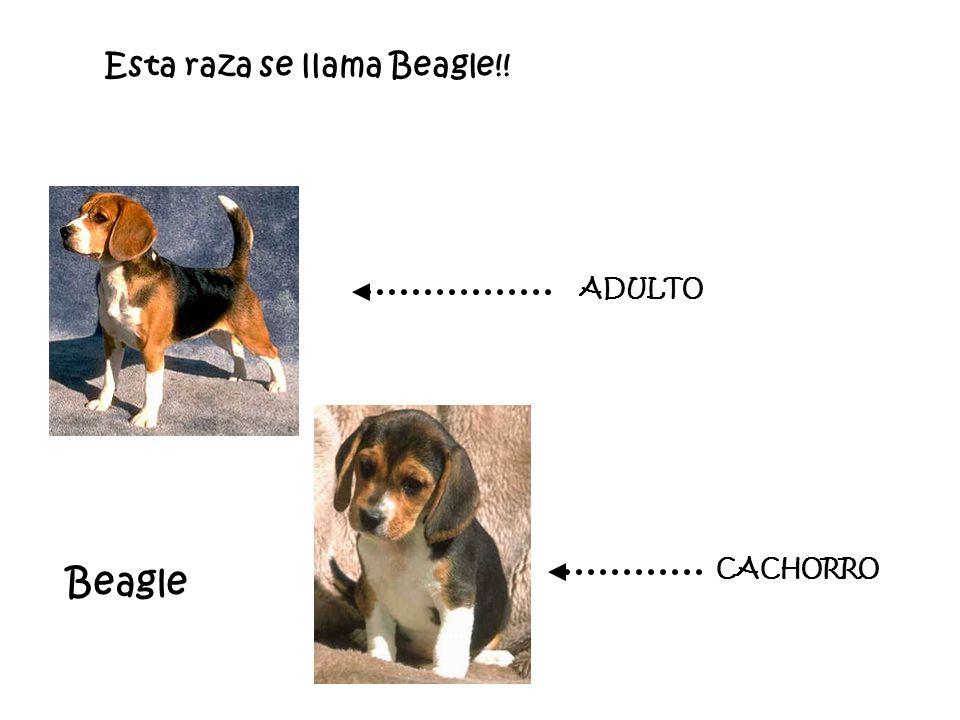 Esta raza se llama Beagle!!