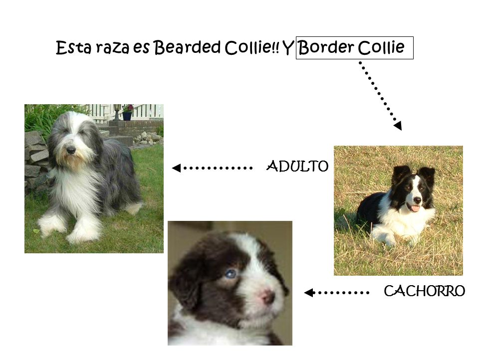Esta raza es Bearded Collie!! Y Border Collie