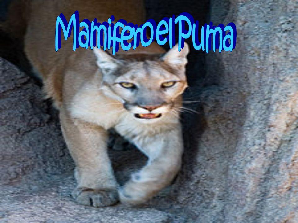 Mamifero el Puma