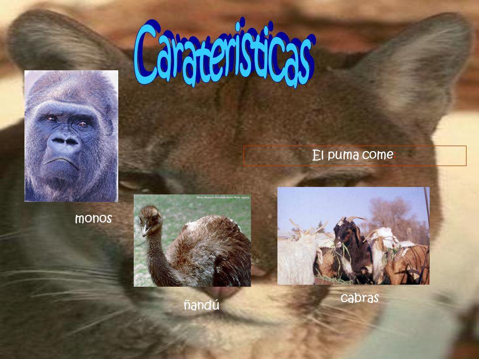 Carateristicas El puma come: monos cabras ñandú