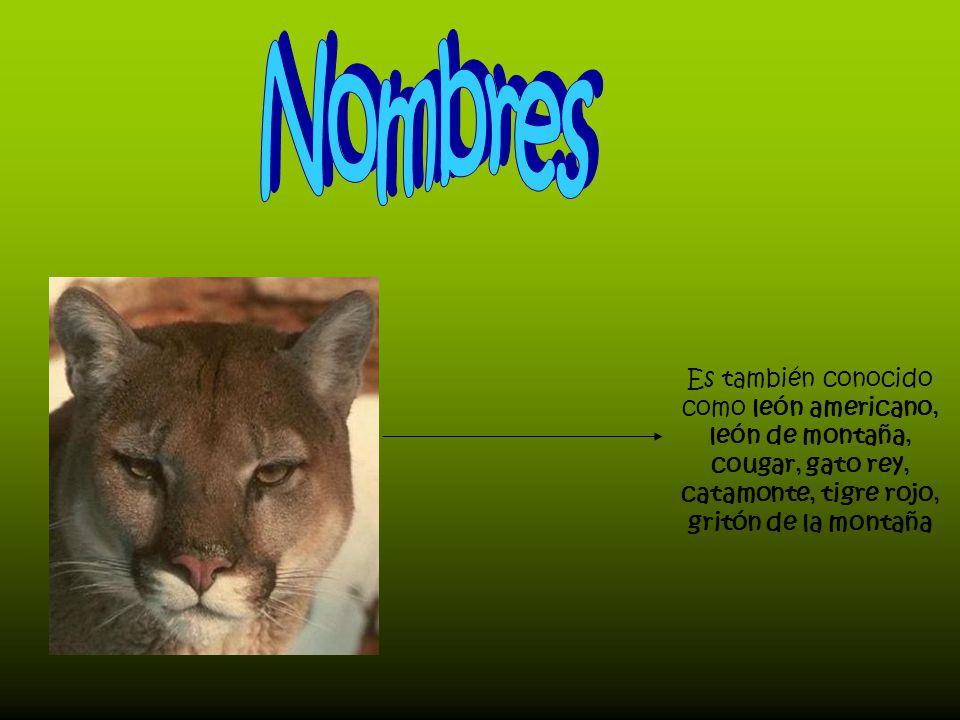 Nombres Es también conocido como león americano, león de montaña, cougar, gato rey, catamonte, tigre rojo, gritón de la montaña.