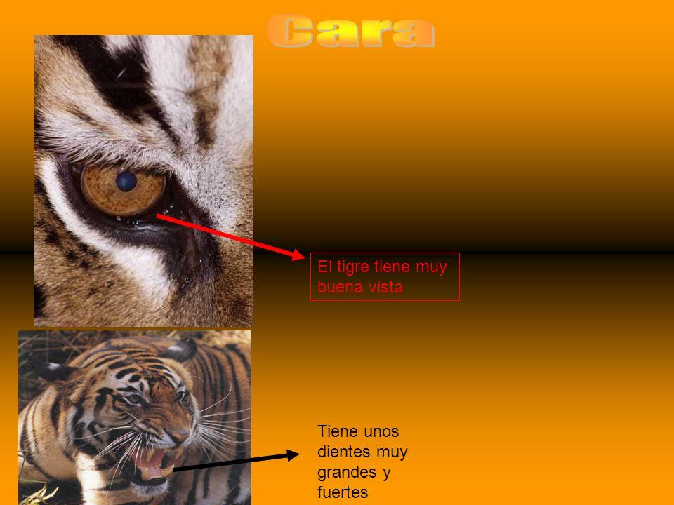 Cara El tigre tiene muy buena vista