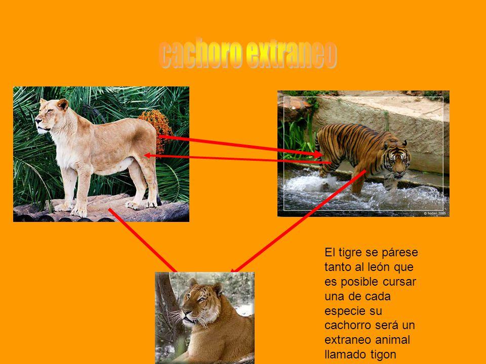 cachoro extraneo El tigre se párese tanto al león que es posible cursar una de cada especie su cachorro será un extraneo animal llamado tigon.