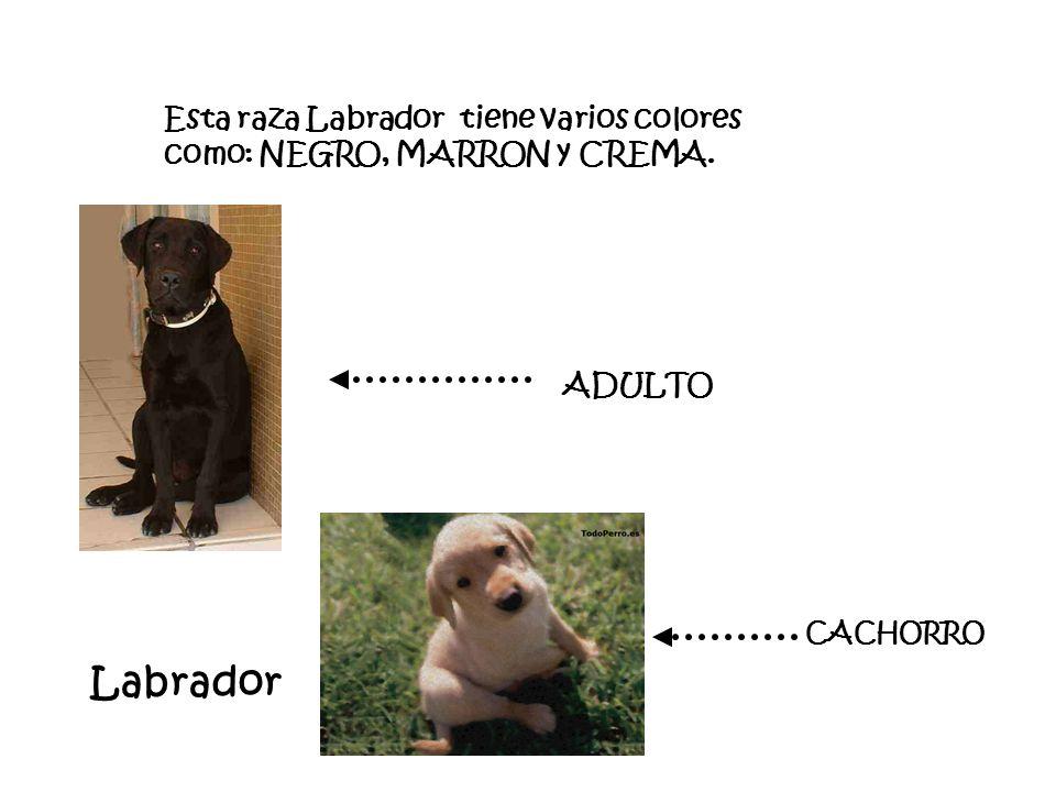 Esta raza Labrador tiene varios colores como: NEGRO, MARRON y CREMA.
