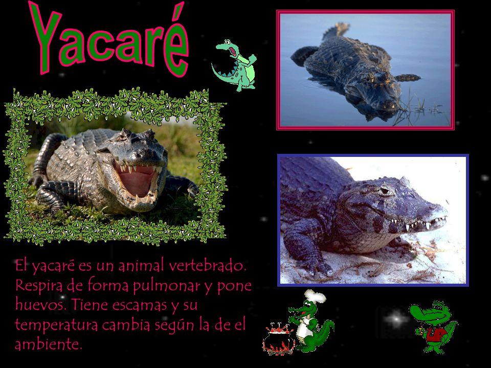 Yacaré El yacaré es un animal vertebrado. Respira de forma pulmonar y pone huevos.