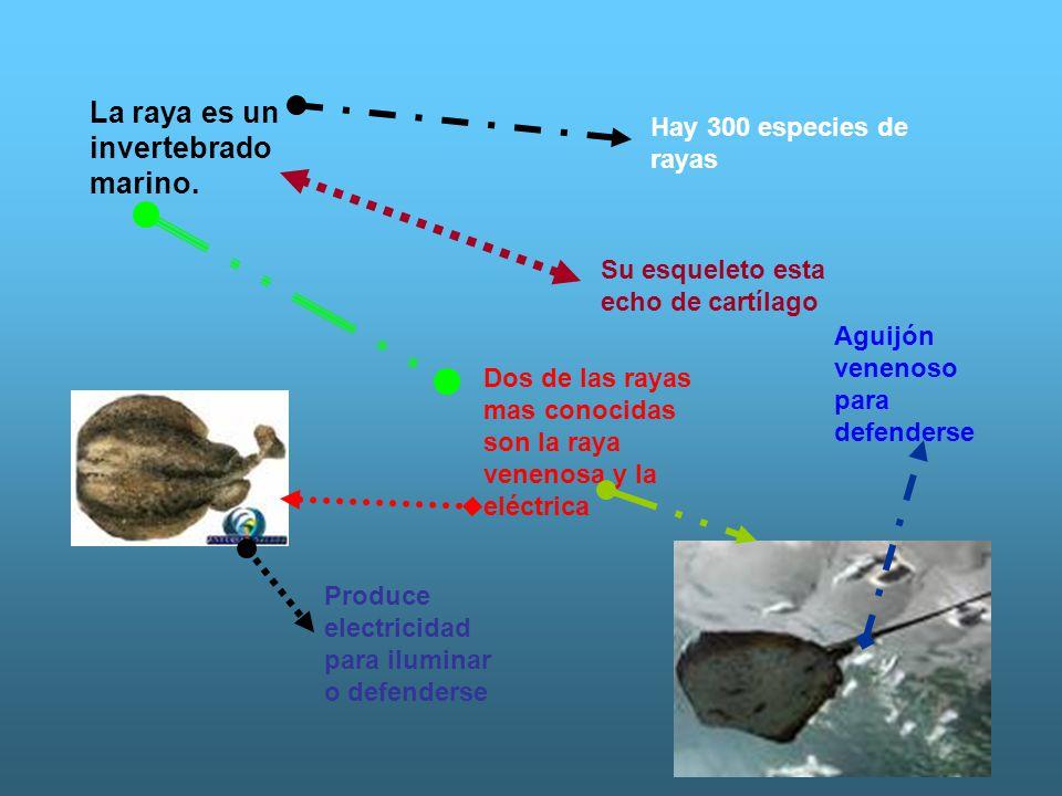 La raya es un invertebrado marino.