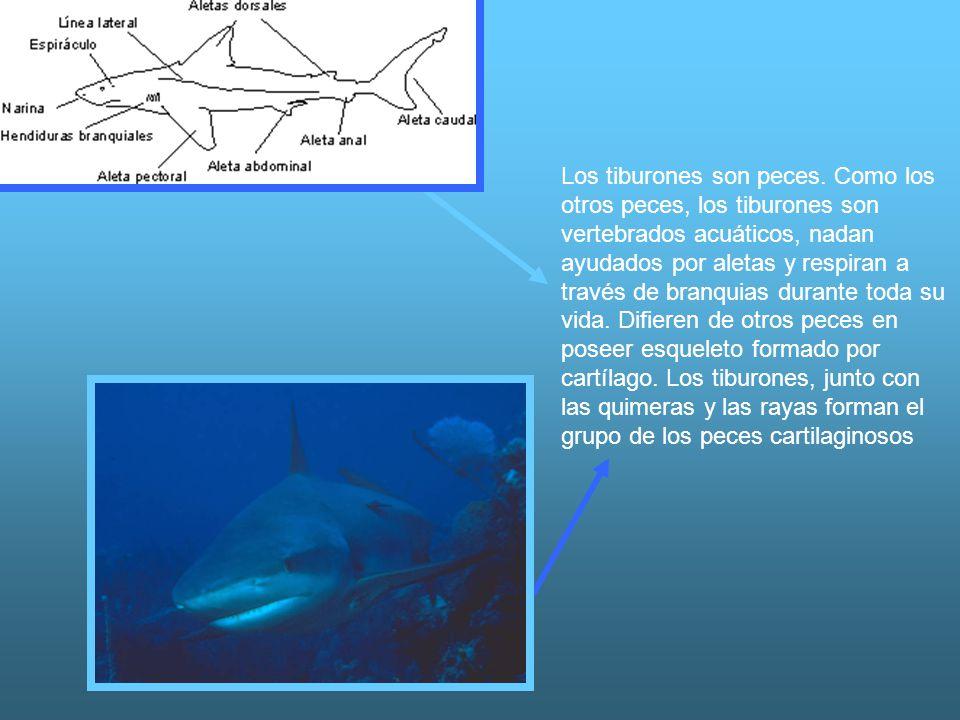 Los tiburones son peces