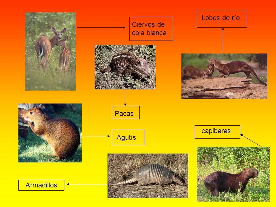 Lobos de río Ciervos de cola blanca Pacas capibaras Agutís Armadillos