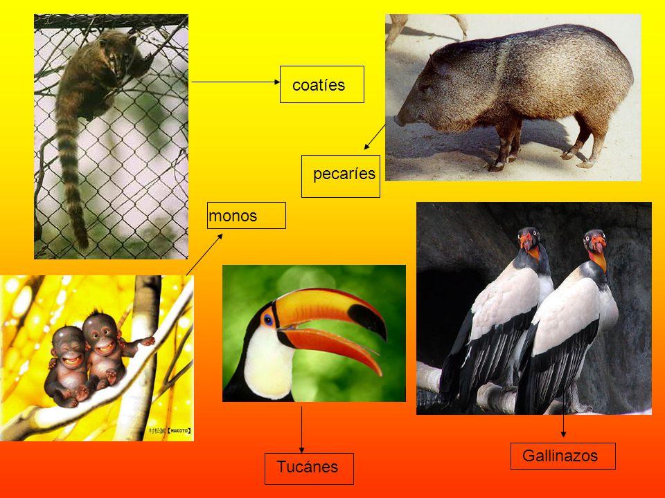 coatíes pecaríes monos Gallinazos Tucánes