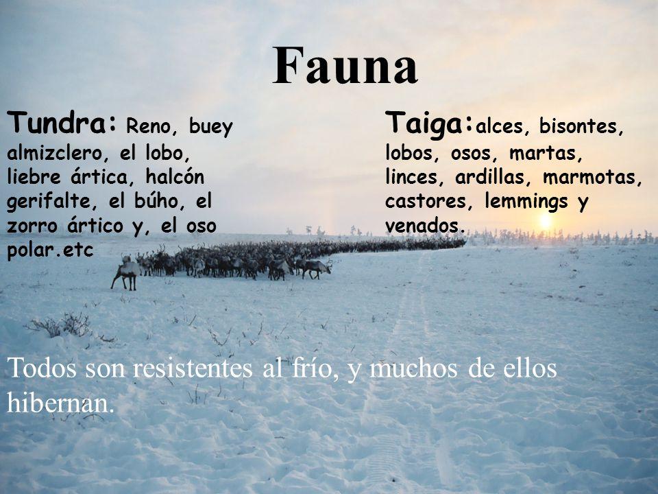Fauna Tundra: Reno, buey almizclero, el lobo, liebre ártica, halcón gerifalte, el búho, el zorro ártico y, el oso polar.etc.
