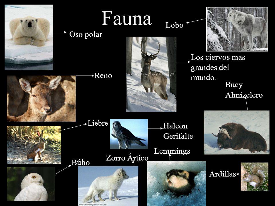 Fauna Lobo Oso polar Los ciervos mas grandes del mundo. Reno