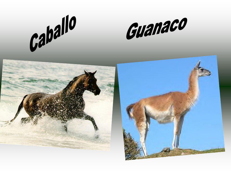 Guanaco Caballo