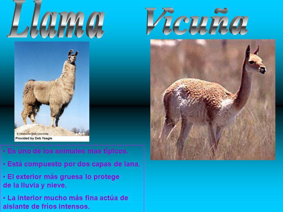 Llama Vicuña Es uno de los animales mas típicos.