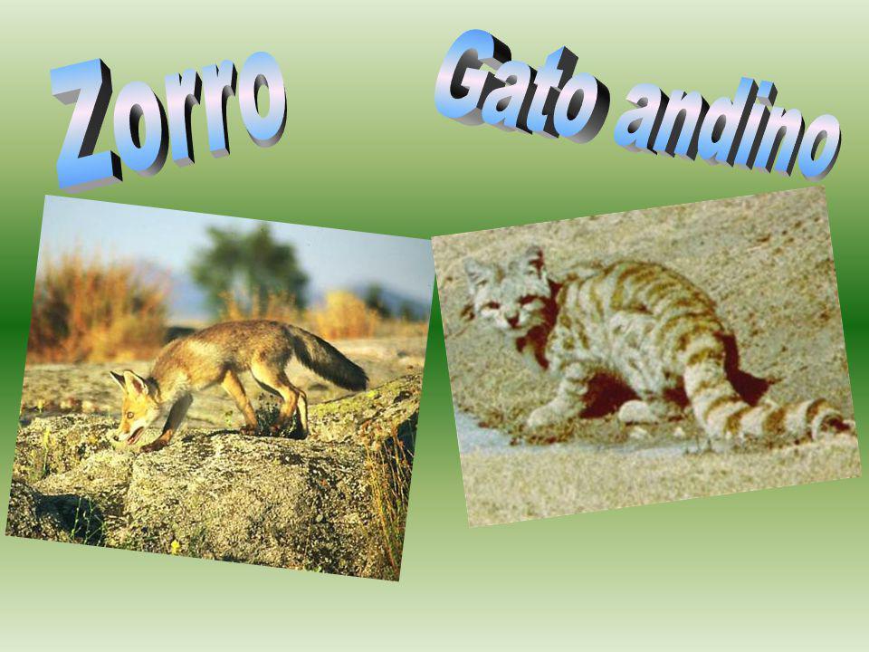 Zorro Gato andino