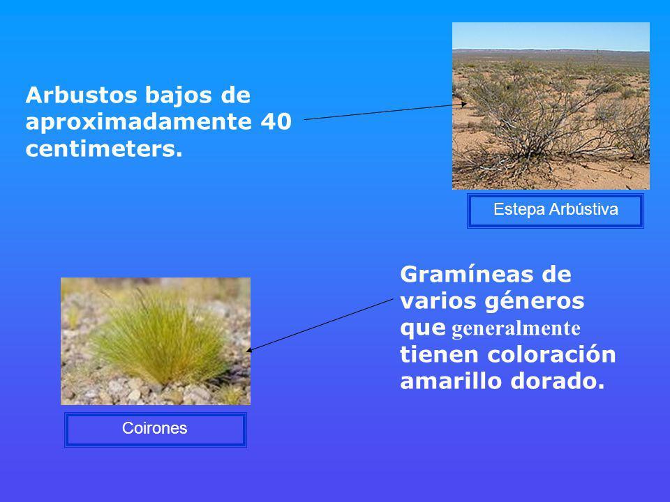 Arbustos bajos de aproximadamente 40 centimeters.