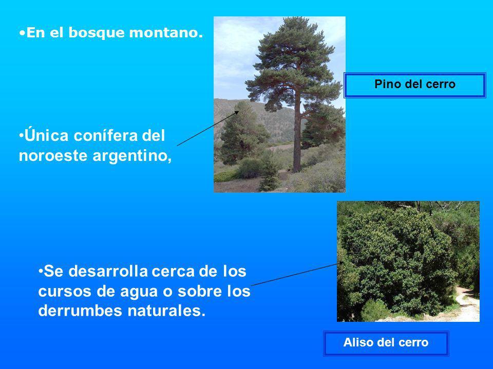 Única conífera del noroeste argentino,