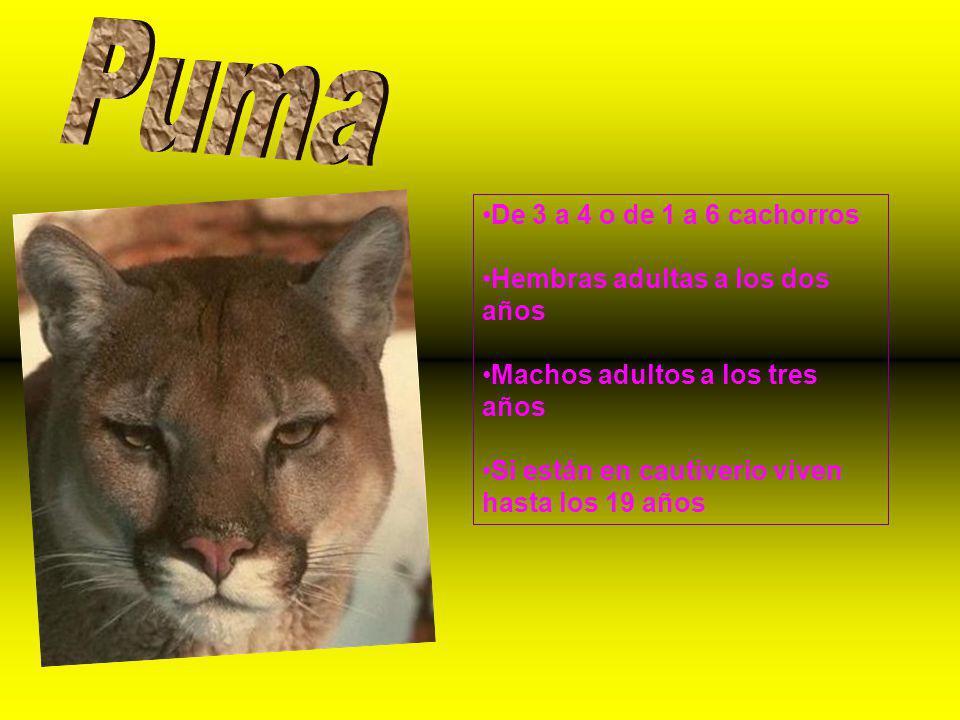 Puma De 3 a 4 o de 1 a 6 cachorros Hembras adultas a los dos años