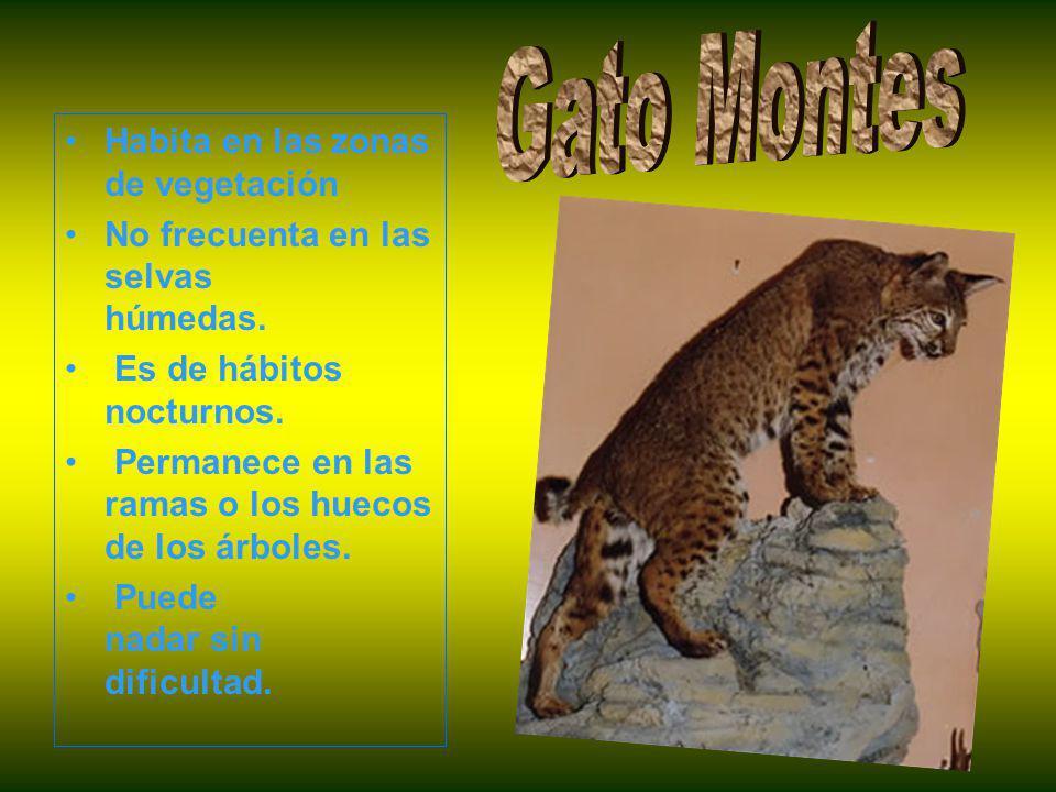 Gato Montes Habita en las zonas de vegetación