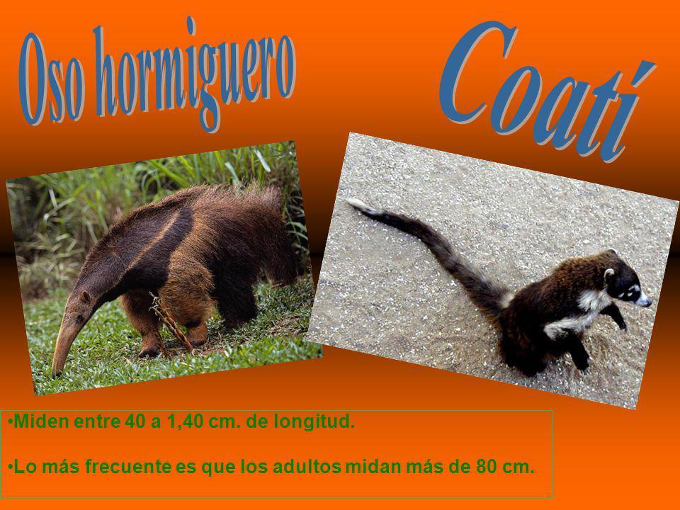 Oso hormiguero Coatí Miden entre 40 a 1,40 cm. de longitud.