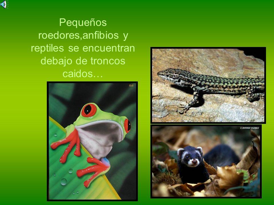Pequeños roedores,anfibios y reptiles se encuentran debajo de troncos caidos…