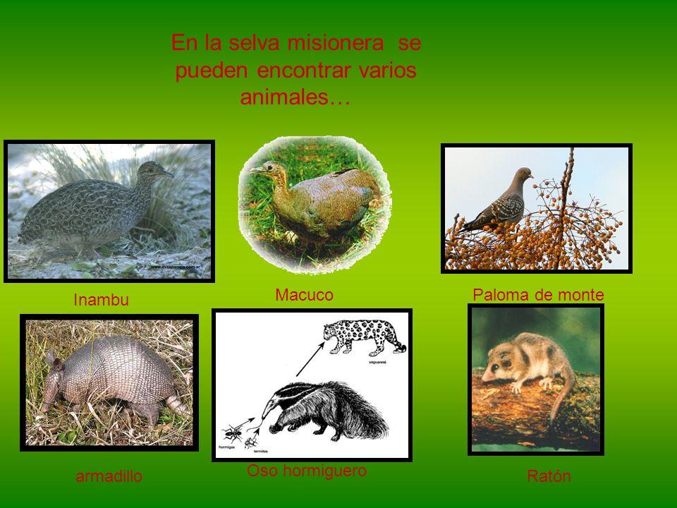 En la selva misionera se pueden encontrar varios animales…