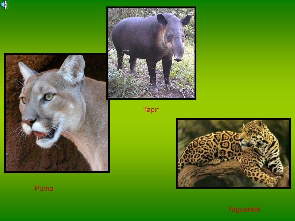 Tapir Puma Yaguareté