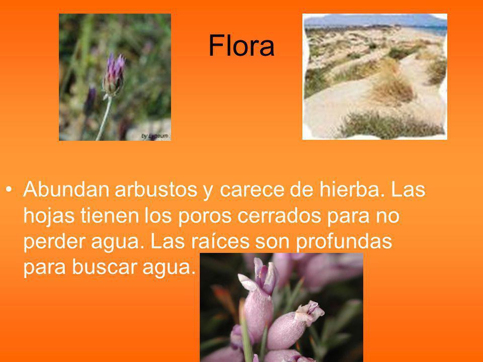 Flora Abundan arbustos y carece de hierba. Las hojas tienen los poros cerrados para no perder agua.