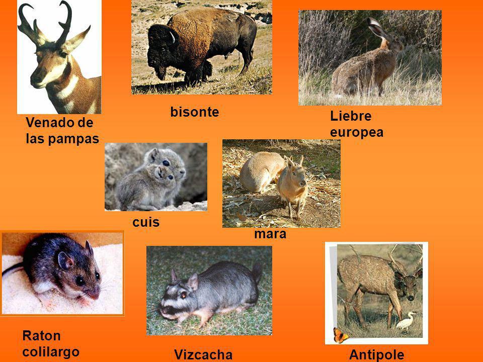 bisonte Liebre europea Venado de las pampas cuis mara Raton colilargo Vizcacha Antipole