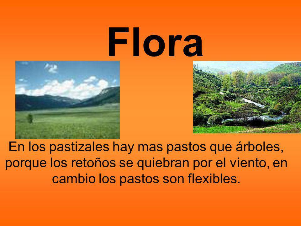 Flora En los pastizales hay mas pastos que árboles, porque los retoños se quiebran por el viento, en cambio los pastos son flexibles.