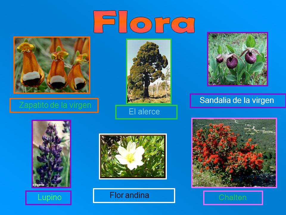 Flora Sandalia de la virgen Flor andina Lupino Zapatito de la virgen